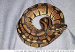 Balled up ball python