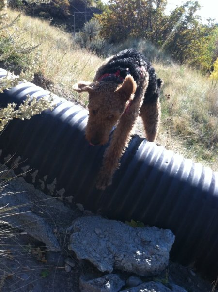 Leaping Airedales