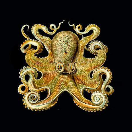 ernst_haeckel_octopus