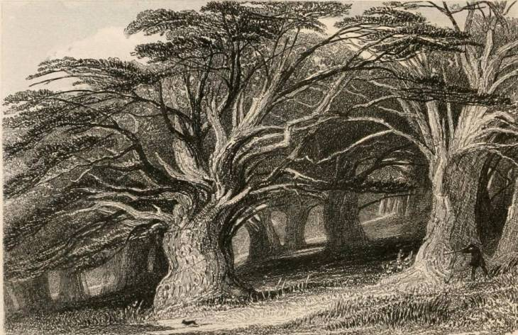 """The Druid's Grove- Norbury Park Ancient Yew Trees"" by Thomas Allom"