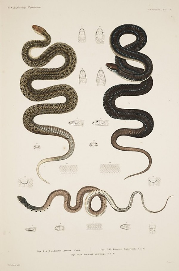 snakes_scientific_illustration_thumb