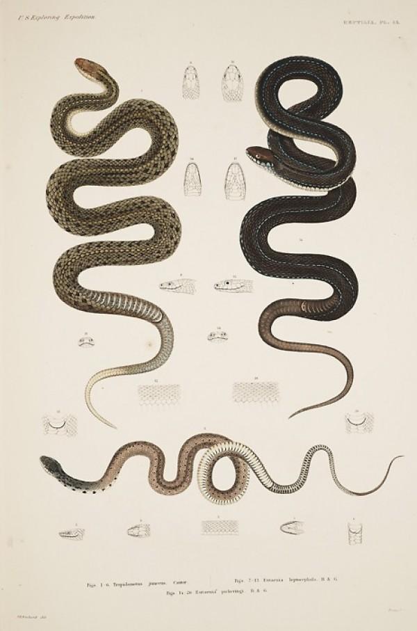 snakes_scientific_illustration_thumb